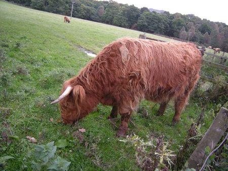 Cowscotland
