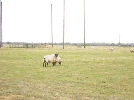 Sheeppp