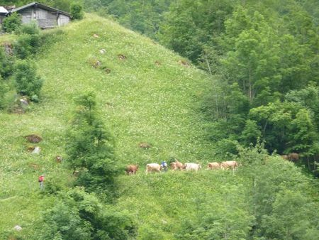 Mountaincows