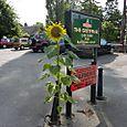 Errant Sunflower