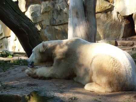 Knut_the_polar_bear