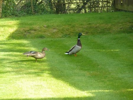 Ducksingarden1
