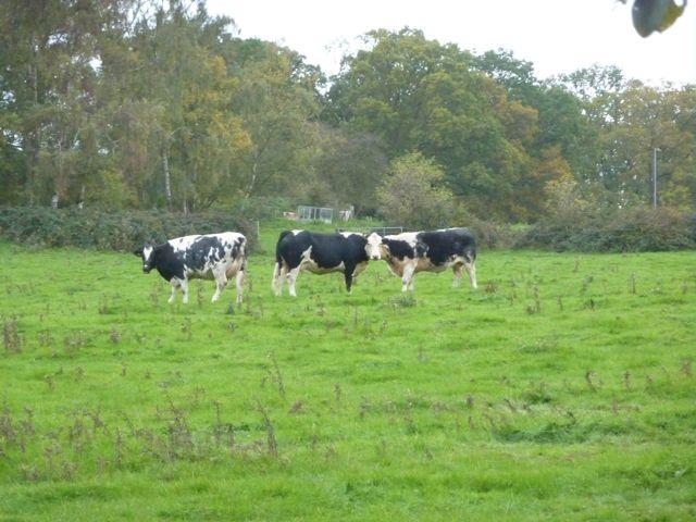 Cowpasture