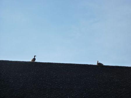 Ducksonroof3