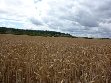 Fieldsofbarley