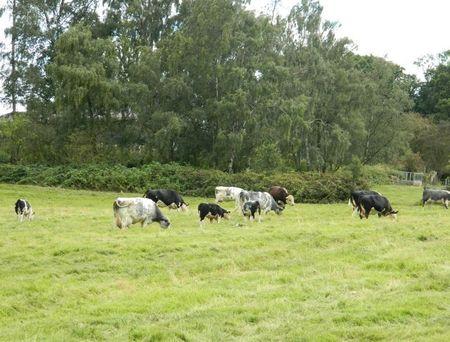 Cowsudders