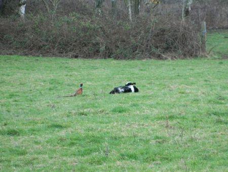 Pheasantcalf