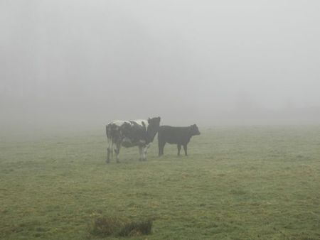 Cows Knocked Up by Fog movie