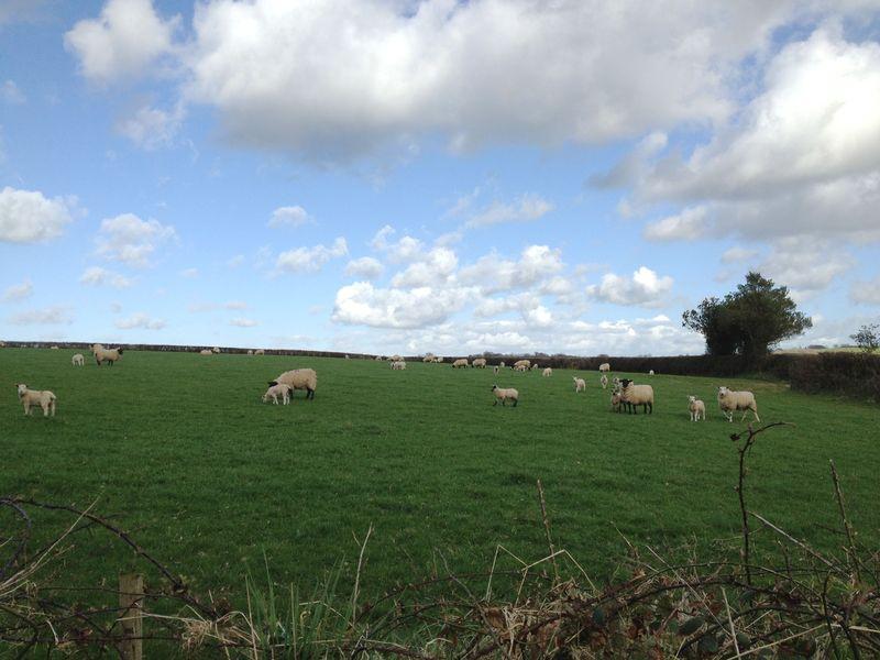Sheepfield