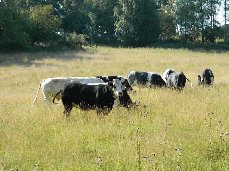 CowsAugust