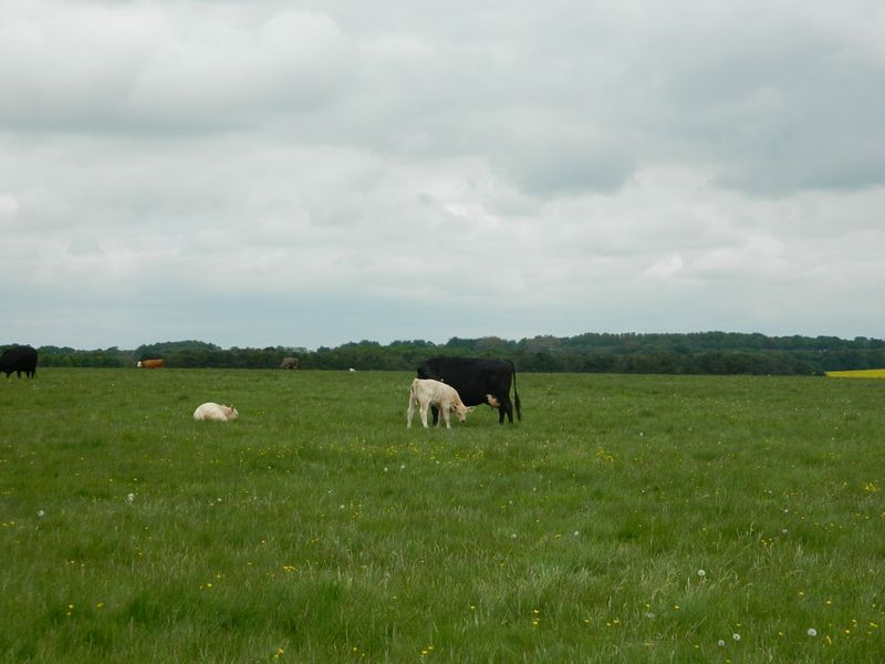 Cowsstonehenge1