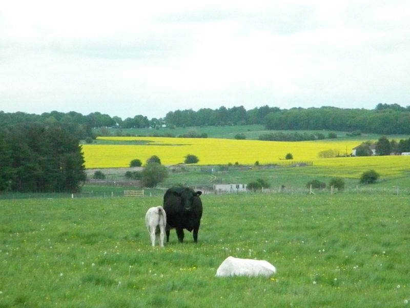 Cowsstonehenge