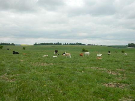 Cowsstonehenge2