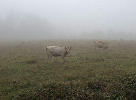 Cowsinfog2