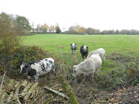 Whitecows