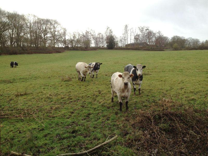 Cows11