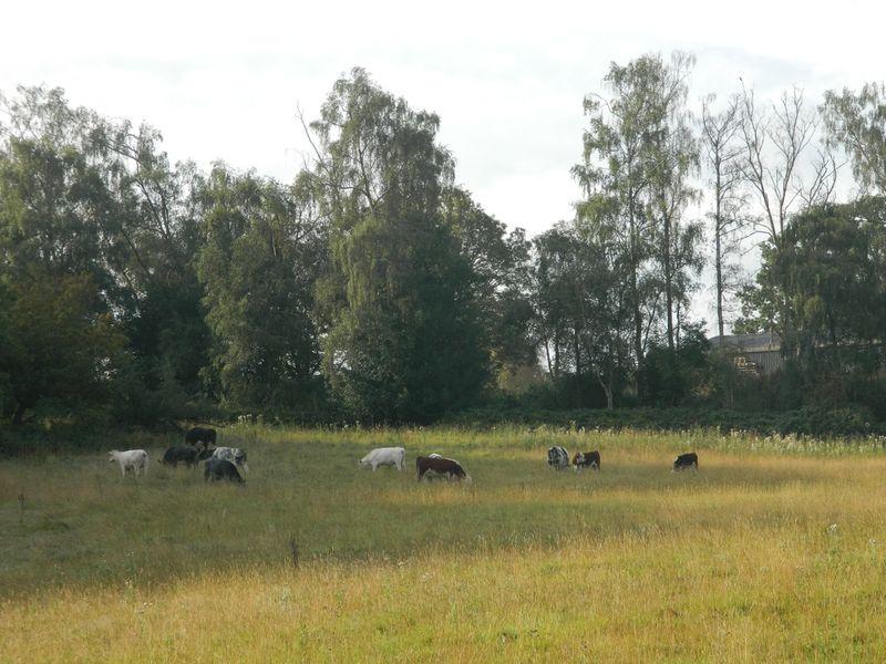 Cowscomeback