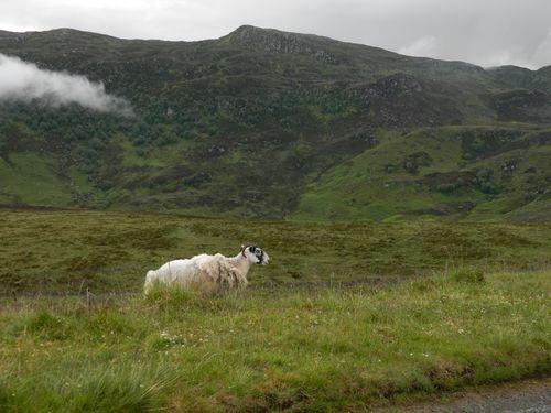Highlandsheep