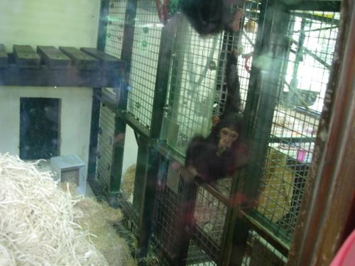 Baby chimp at Monkey World