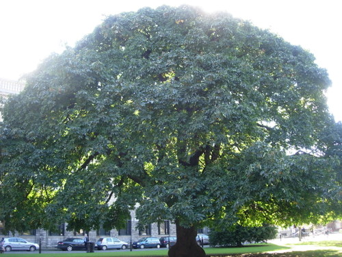 Maple tree at Trinity