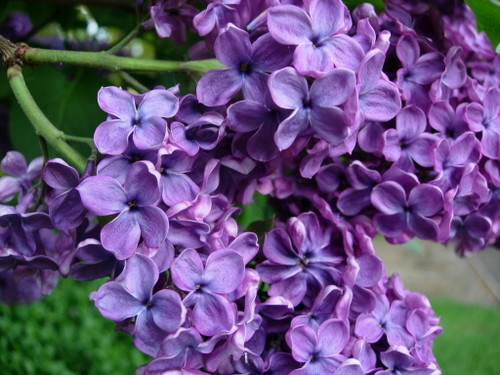 http://whatdoiknow.typepad.com/photos/flowers/lilacs.jpg