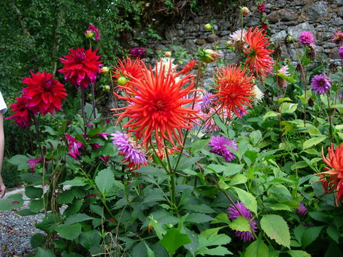 Dahlias at Ballyboy