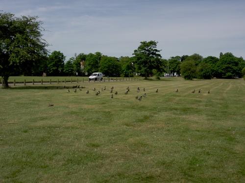 Ducks Scatter