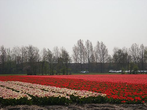 Bulb fields near Keukenhof