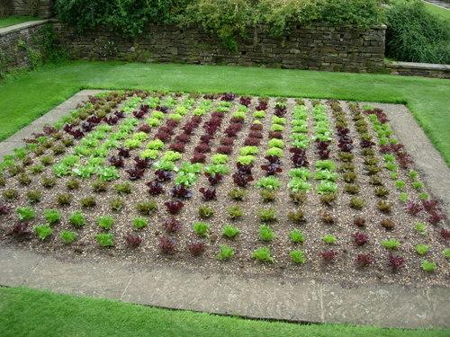 Wisley Garden Lettuce Mosaic