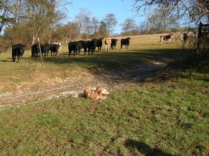 Cowsdog