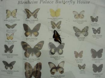 Blenheimflys