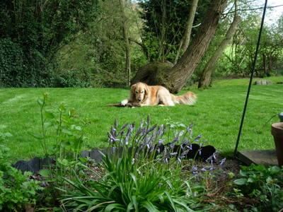 Bluebelldog