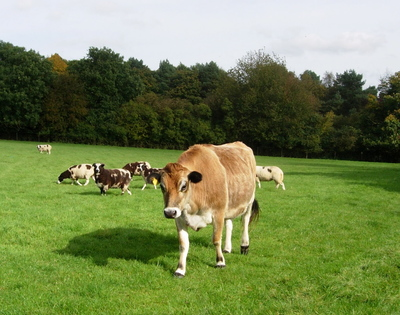 Dunstablecow