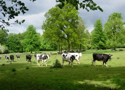 Penncows